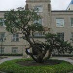 イチイの木はオンコの木